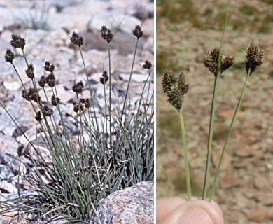 Carex helleri