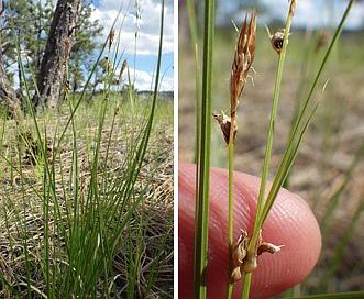 Carex inops
