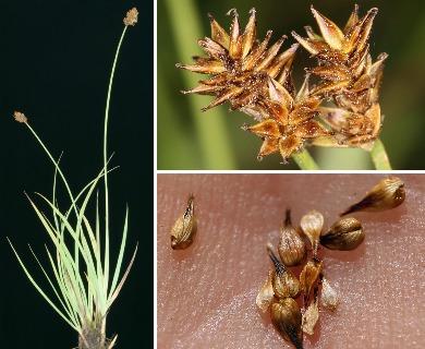 Carex jonesii