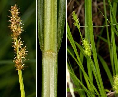 Carex laevivaginata