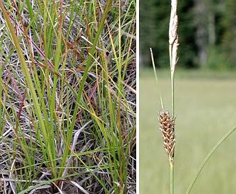 Carex lasiocarpa