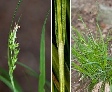 Carex leptonervia