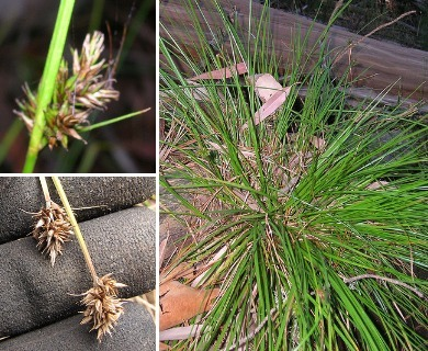 Carex macloviana