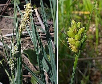 Carex meadii