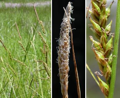 Carex mendocinensis