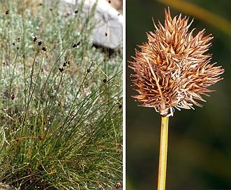 Carex microptera