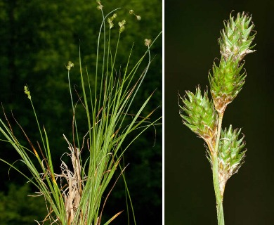 Carex molestiformis