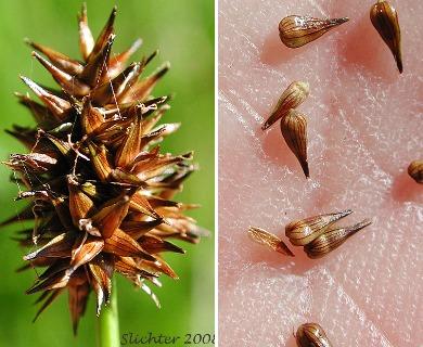 Carex neurophora