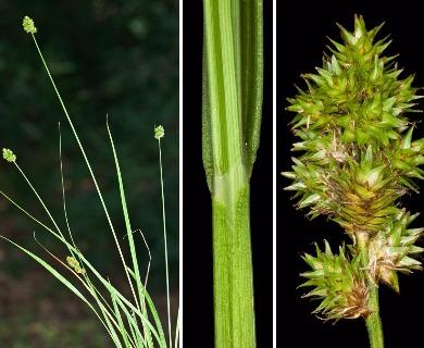 Carex normalis
