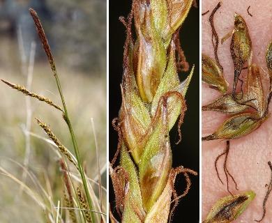 Carex obispoensis