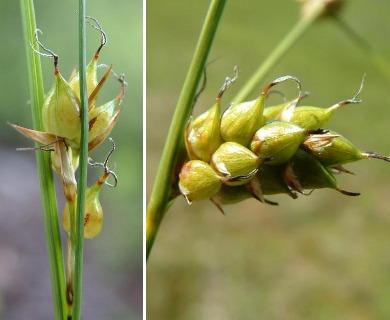Carex oligosperma