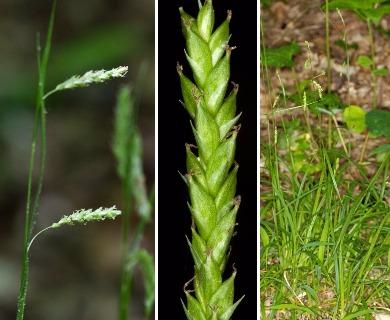 Carex oxylepis