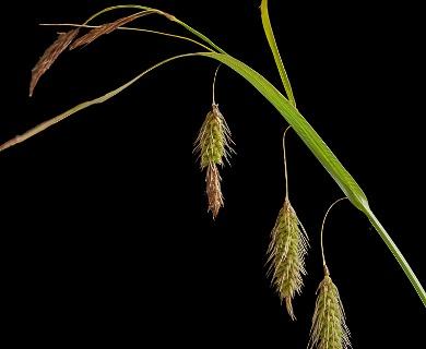 Carex paleacea