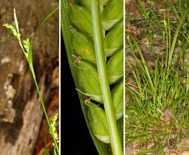 Carex planispicata