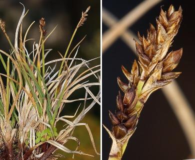 Carex praeceptorum