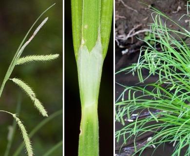 Carex prasina