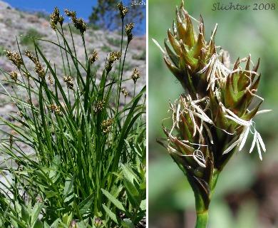 Carex preslii