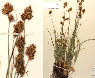 Carex proposita