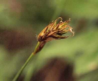 Carex pyrenaica
