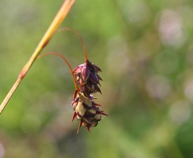 Carex rariflora