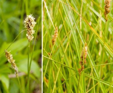 Carex sartwellii