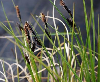 Carex saxatilis