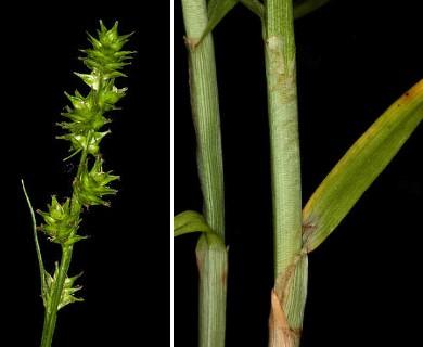 Carex sparganioides