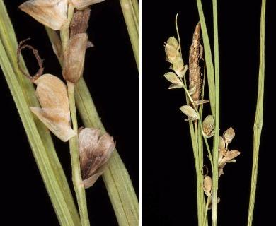Carex tetanica