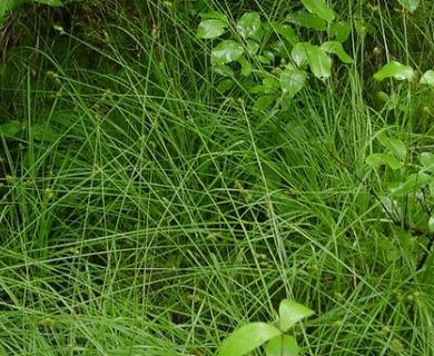 Carex wiegandii
