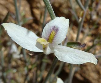 Carlowrightia arizonica