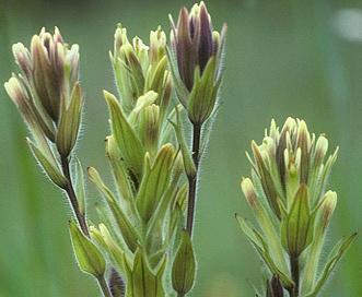 Castilleja chrysantha