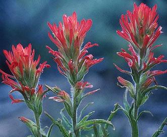 Castilleja dissitiflora
