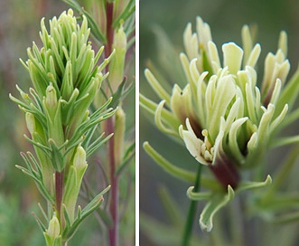 Castilleja thompsonii