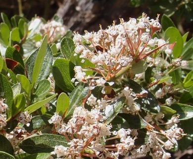 Ceanothus buxifolius