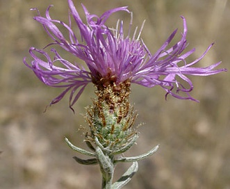 Centaurea nigrescens