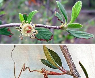 Cercocarpus breviflorus