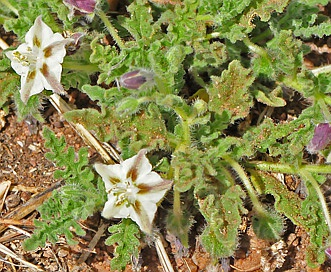 Chamaesaracha coronopus