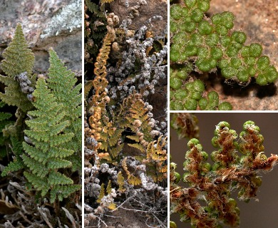 Cheilanthes yavapensis
