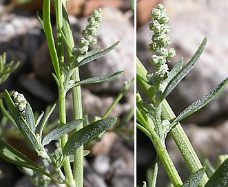 Chenopodium desiccatum