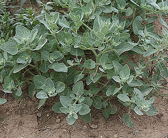 Chenopodium watsonii