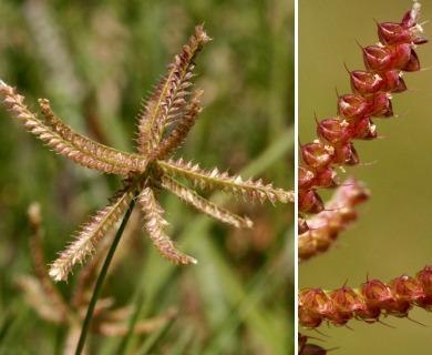 Chloris cucullata