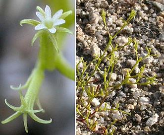 Chorizanthe brevicornu