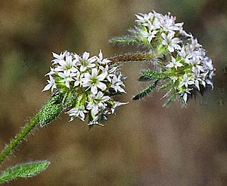 Chorizanthe robusta