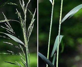 Cinna arundinacea