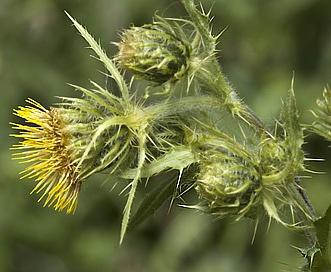 Cirsium parryi