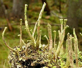 Cladonia ochrochlora