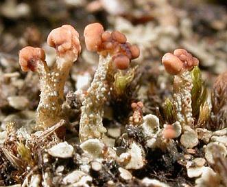 Cladonia peziziformis