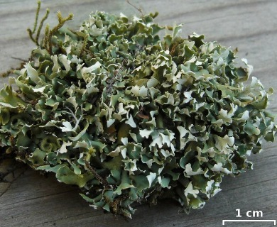 Cladonia robbinsii