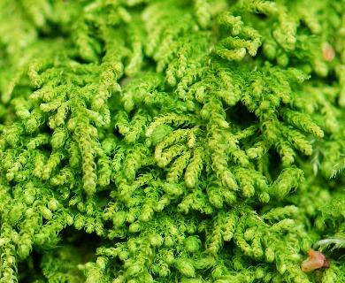 Claopodium crispifolium