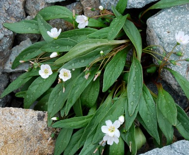 Claytonia multiscapa